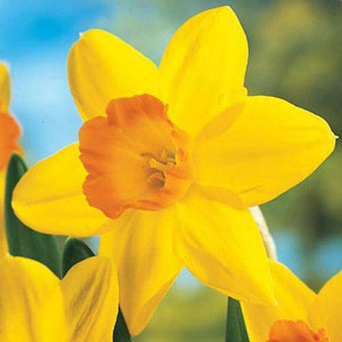 Daffodil 'Fortune'