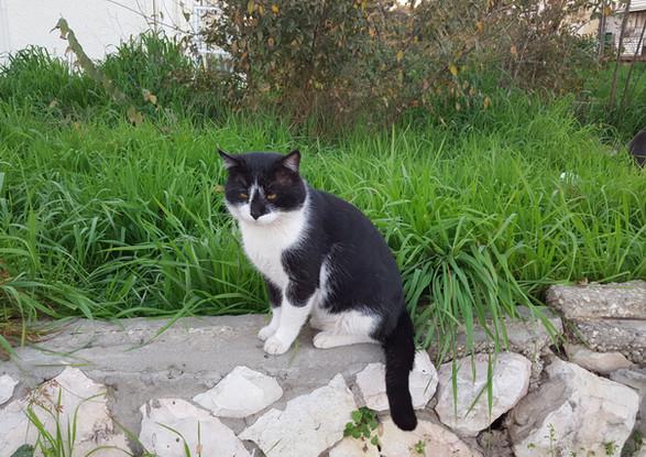 חתול מלך השכונה
