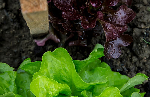 Purple and Green Lettuce