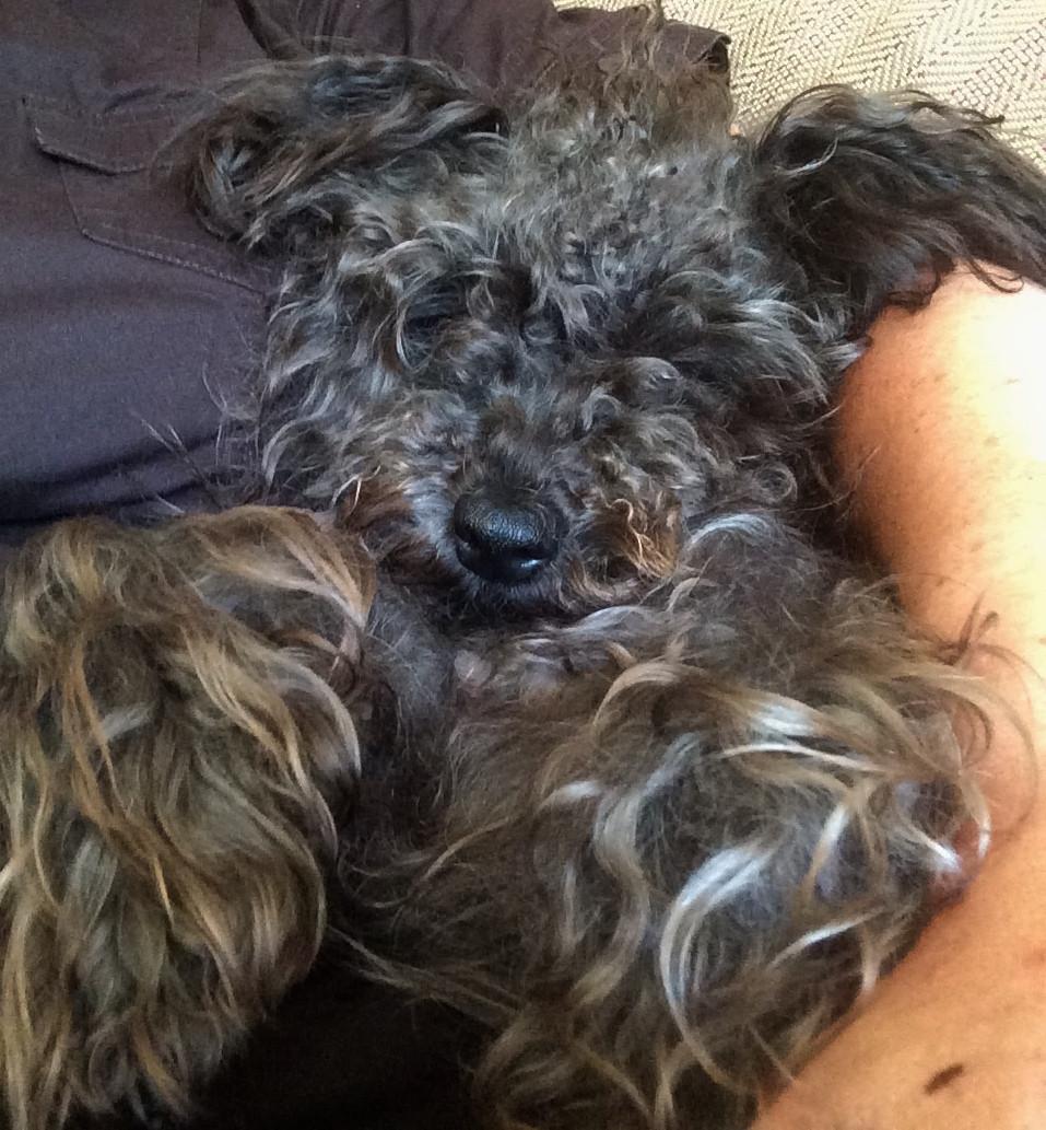 chien Shaman qui dort