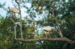 White Ibis's