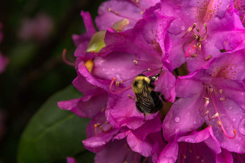Bumble Bee and His Flower