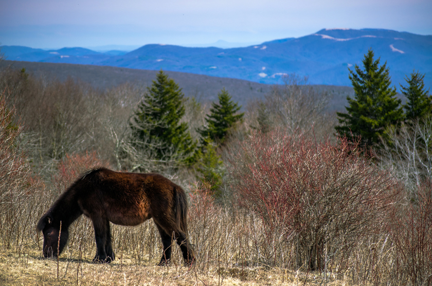 Grazing Along the Grayson Highlands