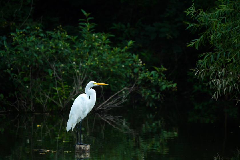 Perched Great Egret