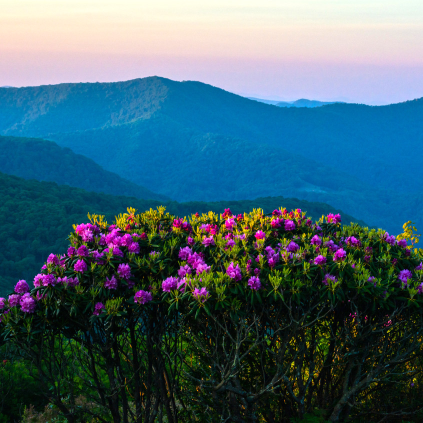 Rhododendron Bloom in the Roan Highl