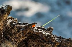 Florida Anole Lizard