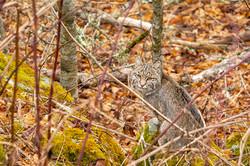 Bob Cat - Blue Ridge Parkway