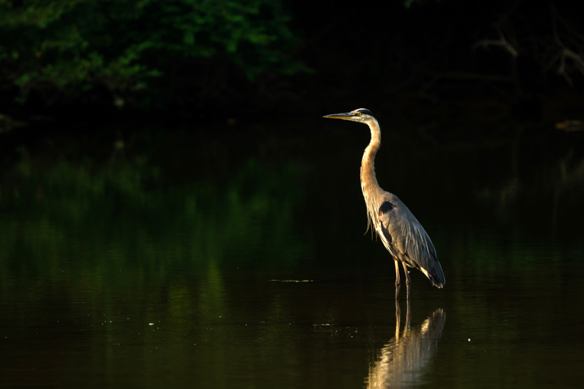 Blue Heron by Cherokee Lake
