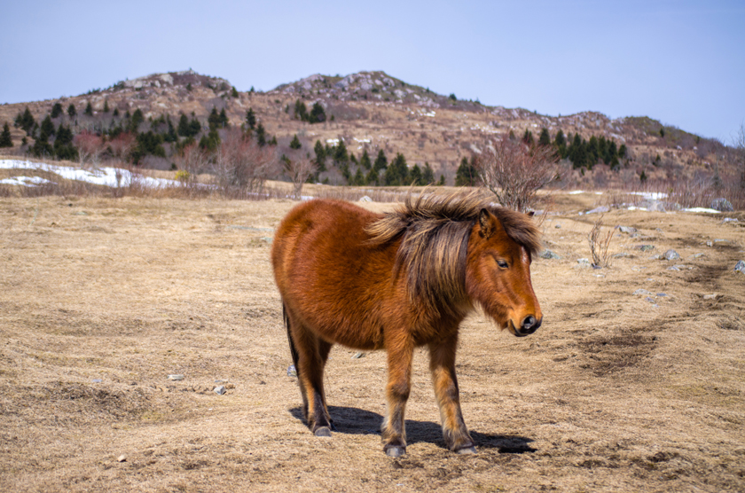 Wild Pony at Grayson Highlands