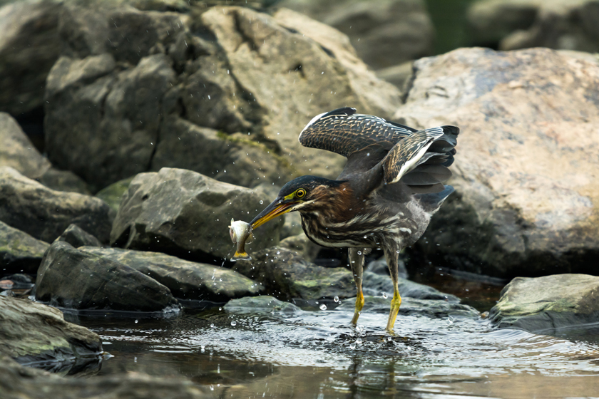 Juvenile Green Heron Catching its prey