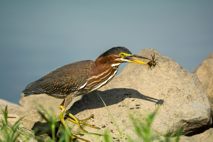 Juvenile Green Heron with Crayfish
