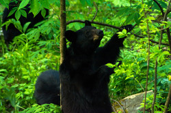 Black Bear Scratching in the Smoky's