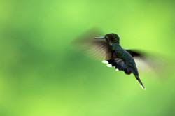 Anna's Humminbird in Flight