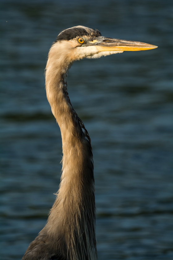 Great Blue Heron in the Morning Light