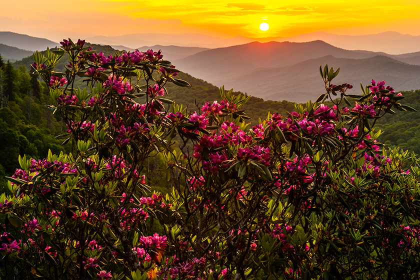 Rhododendron Sunrise