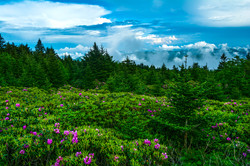 Rhododendrons in the Highlands