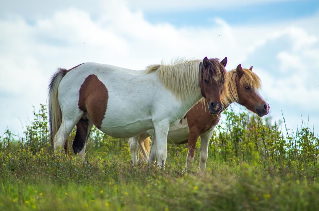 Pregnant Ponies