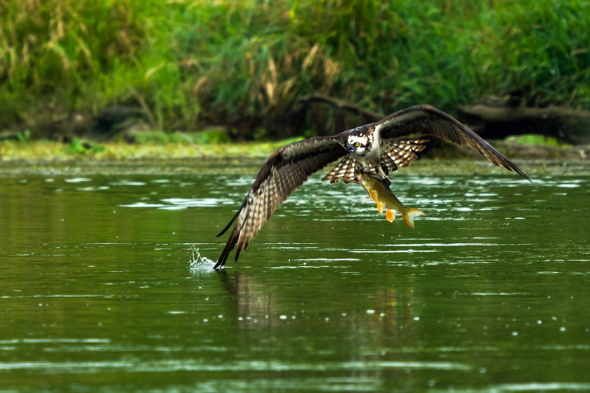 Osprey with its Prey