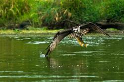 Osprey with its Prey