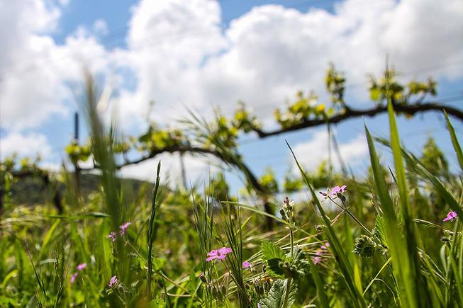 כיסוי צמחייה טבעית בכרם שפיה