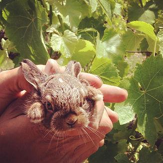 גור ארנבים בכרם הקולומבר