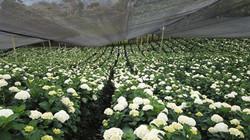 Hydrangea white 5