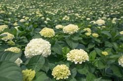 Hydrangeas-Garden