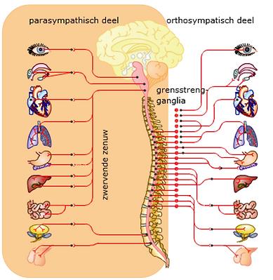 parasympaticus.png