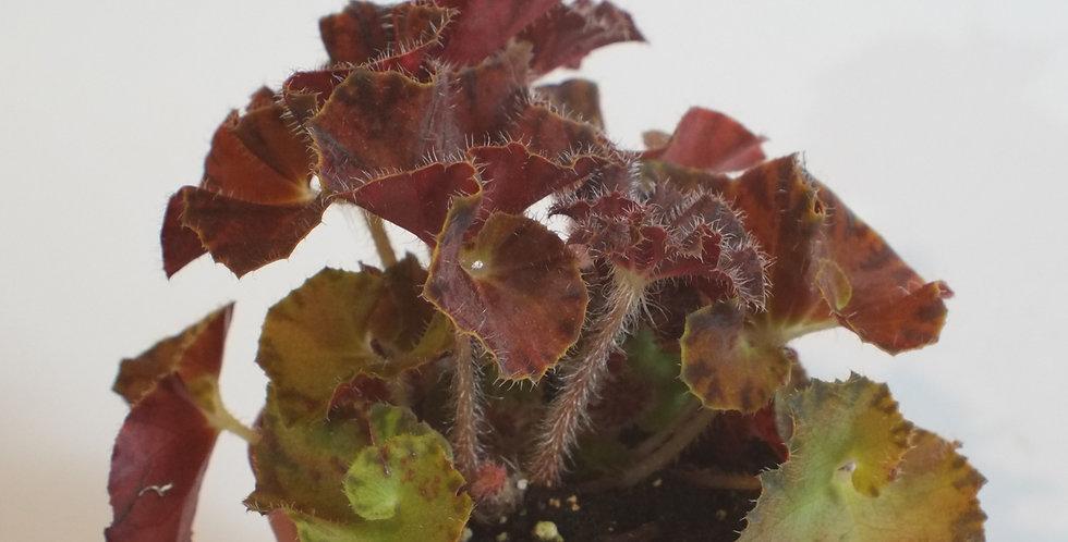 "Begonia ""Autumn's Best"""