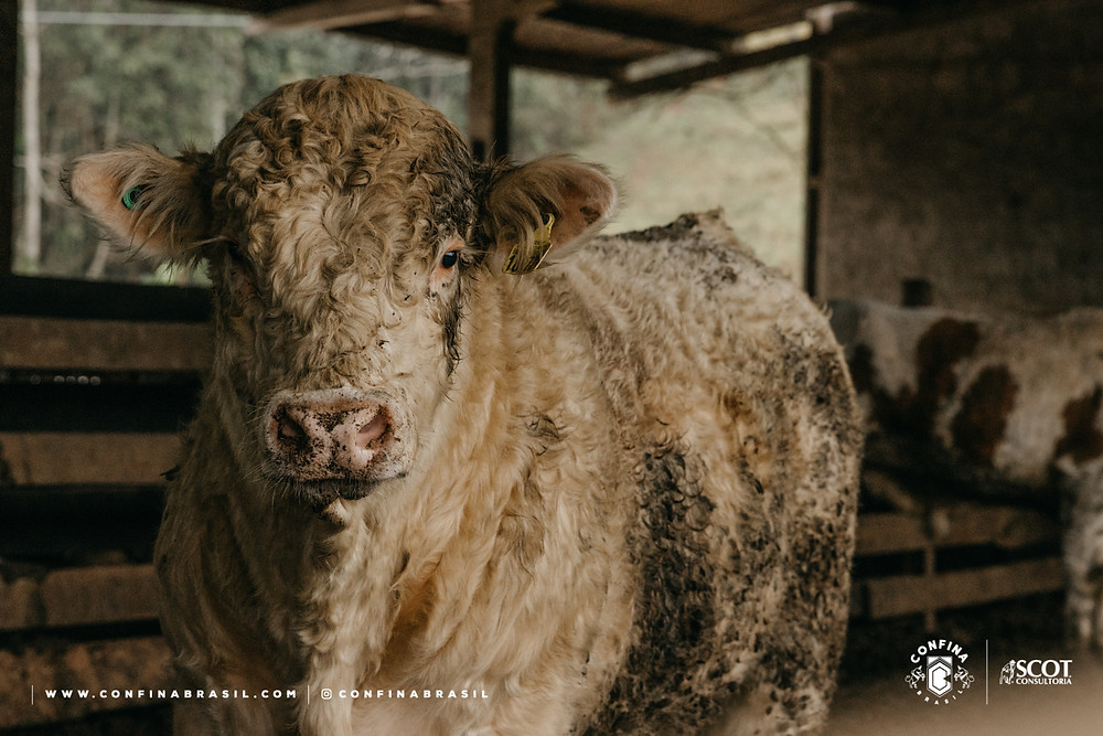 gado jovem confina brasil