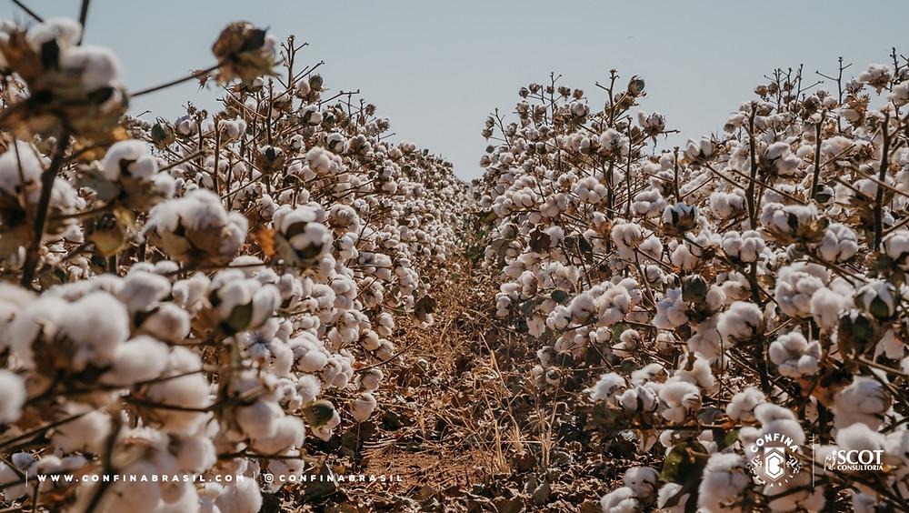 algodão no confina brasil