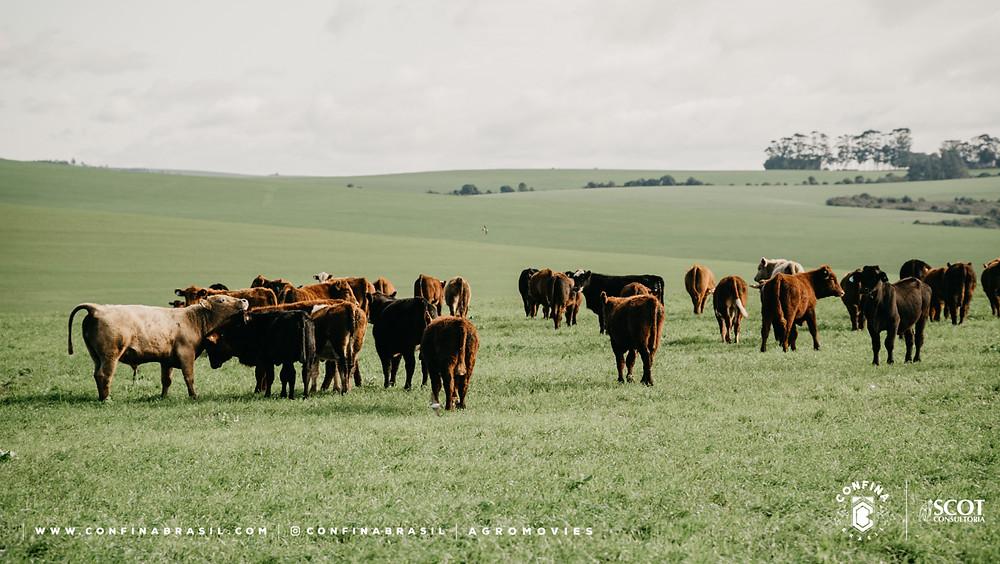 gado no confina brasil