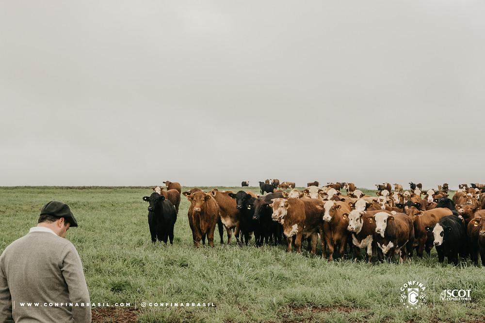 pecuarista e gado