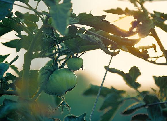 GREEN TOMATO CASE