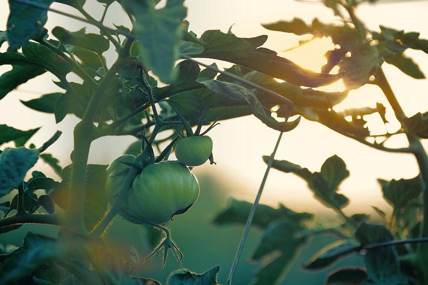 Tomatenpflanze mit Sonnenuntergang