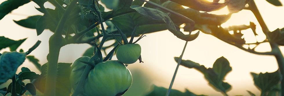 Tomates Cerise Plants