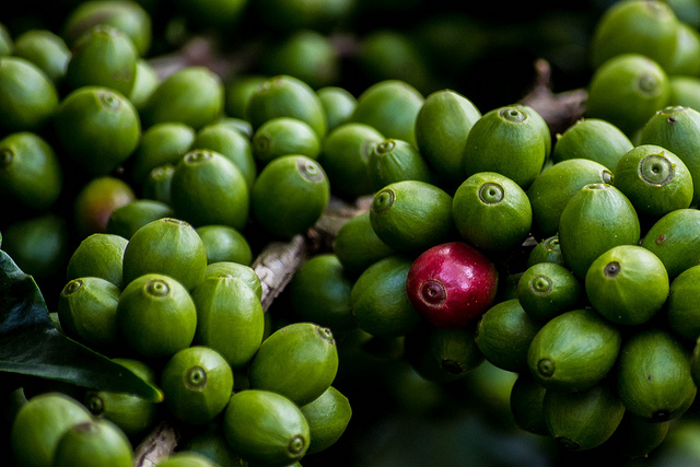 coffee cherry 1.jpg