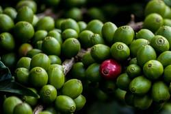coffee cherry 1.jpg