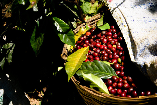 coffee cherry 2.jpg