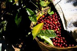 coffee cherry 2.jpg
