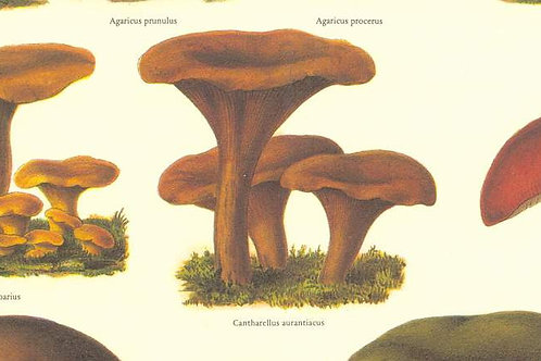 Carta Funghi Trombetta 50x70cm (cod.6497)
