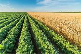 SoybeanWheatField.jpg