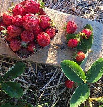 cueillette fraise.jpg