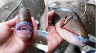 Fish with large lips