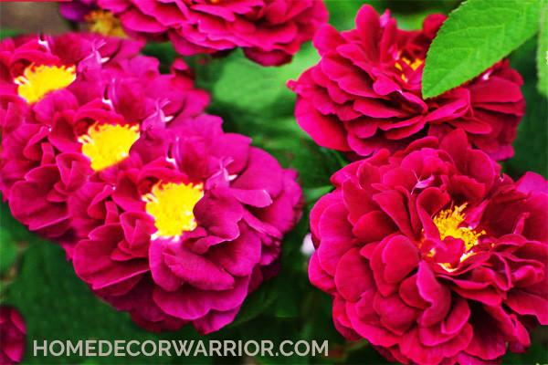Types of rose