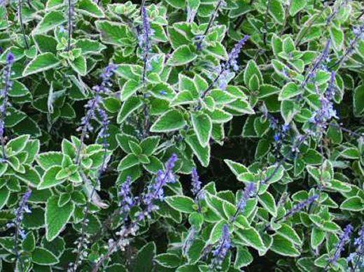 Plectranthus 'Blue Spires'