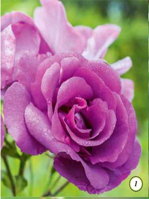 HYBRID TEAS ROSE