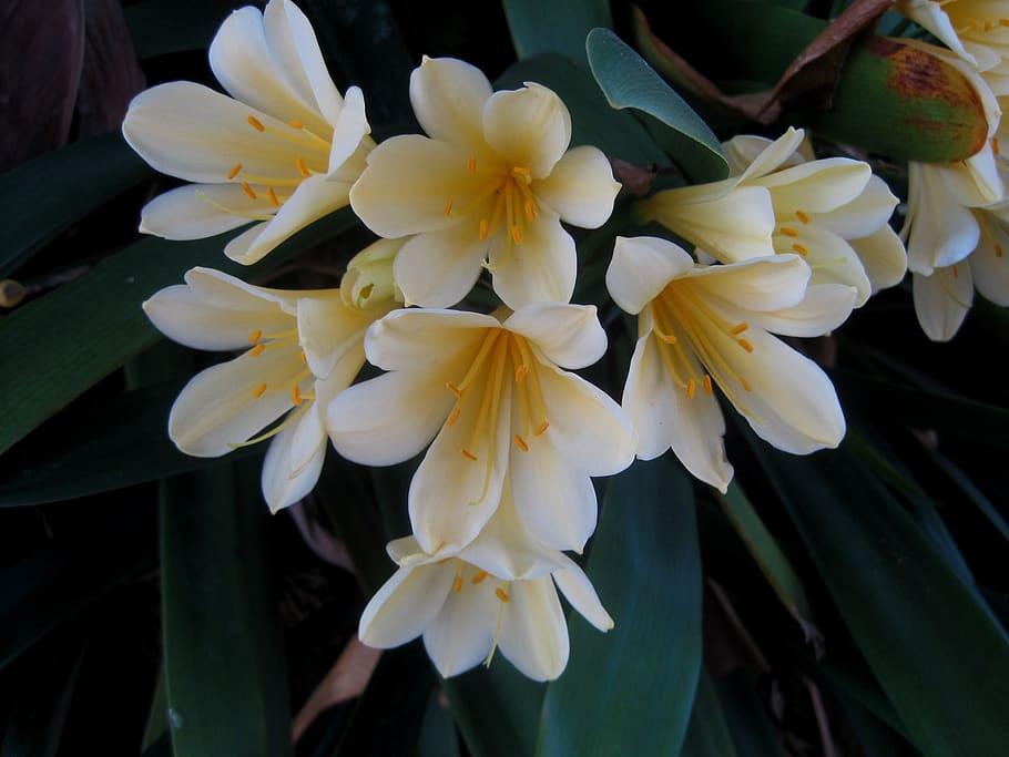 Clivia miniata 'Yellow'