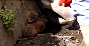 Cubs in drain
