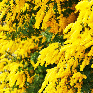 Winter Blanket Golden Wattle